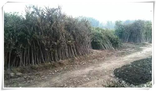 山南香椿小苗生产基地