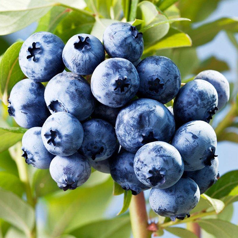 蓝莓可爱图片