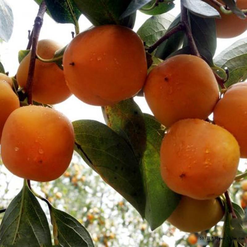 高陵日本甜柿子品种
