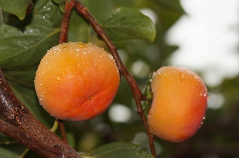 湖南日本甜柿子品种