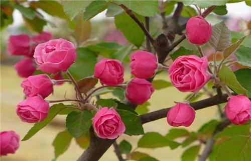 乌海亚当海棠海棠苗品种