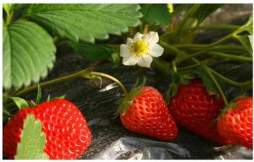 宁夏四季草莓苗最新行情