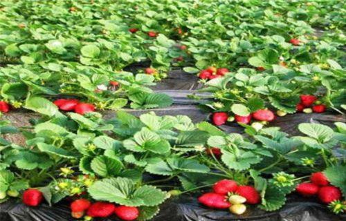克拉玛依四季草莓苗价