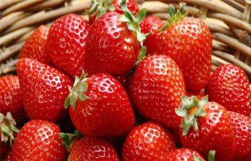 海南四季草莓苗供应