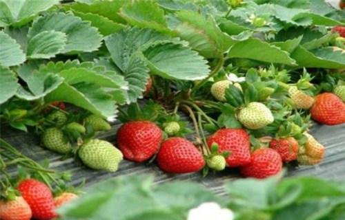 伊犁四季草莓苗最新报价