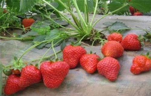 果洛四季草莓苗哪家好