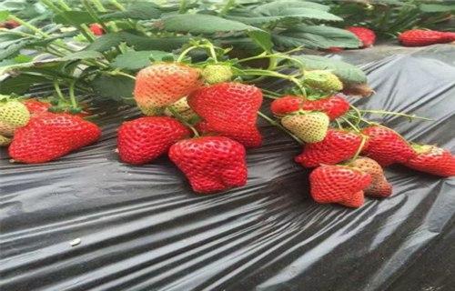 玉树四季草莓苗哪家便宜