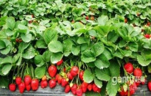 银川四季草莓苗今日价格