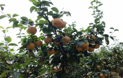 钦州新高梨梨树苗基地