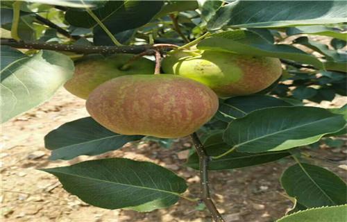 黄南秋月梨树苗价格多少