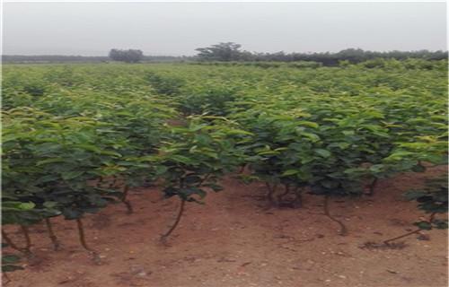 汕头新高梨树苗种植基地