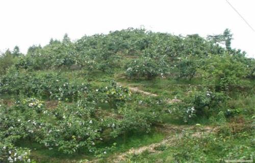 内蒙古新梨七号梨苗种植方法
